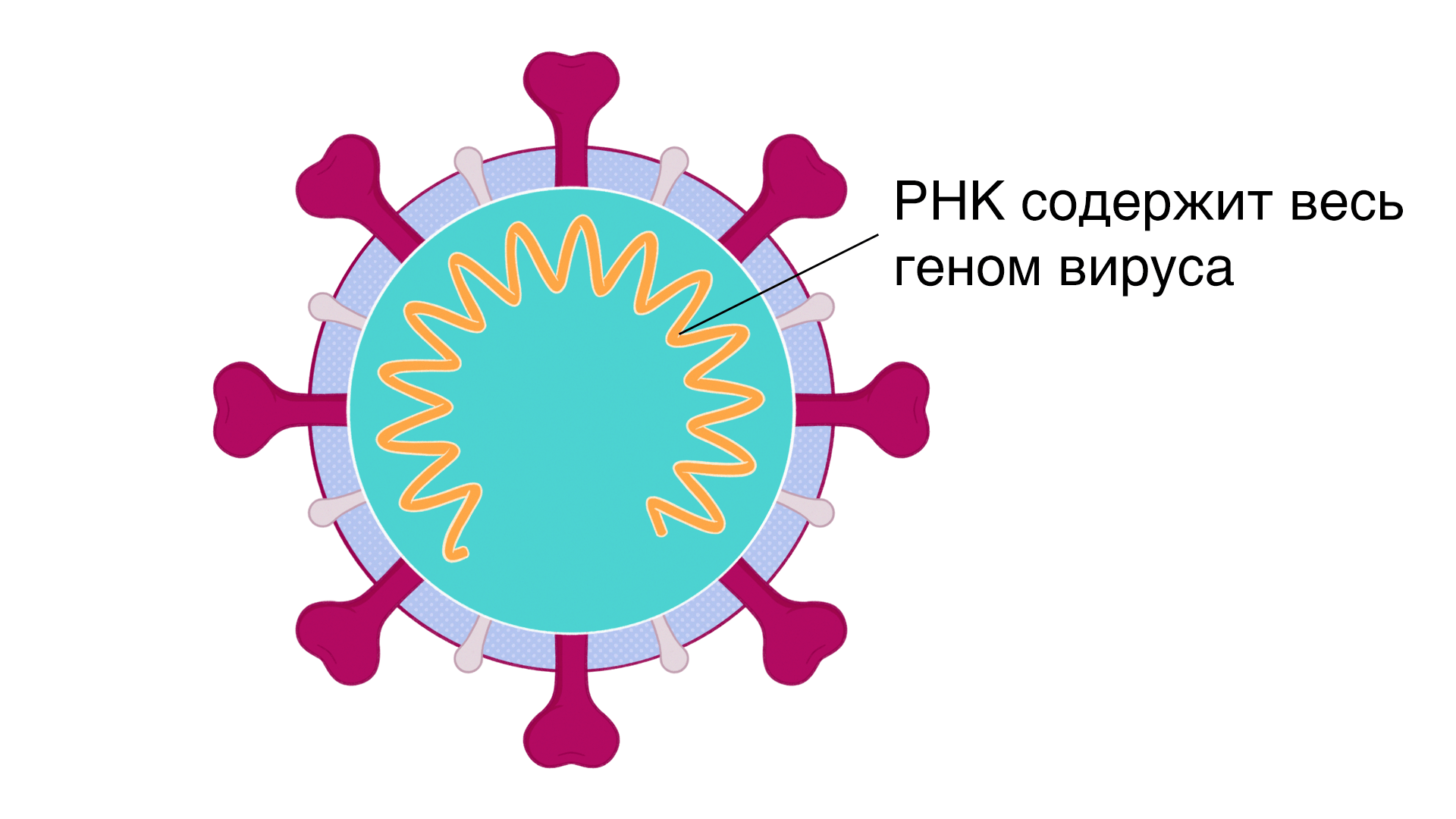 A single illustrated coronavirus with an arrow to its RNA which contains the entire genome of the virus