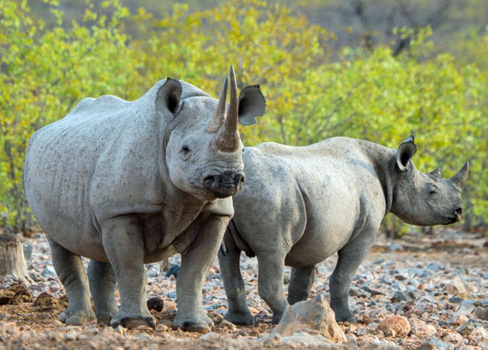 Southern white rhinos in Namibia
