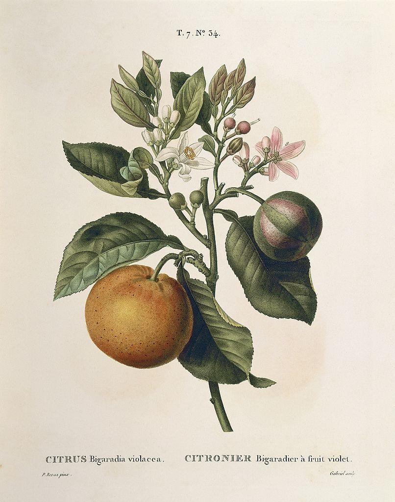 Imagen botánica antigua