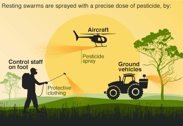 Infographic showing how locust swarms can be tackled through pesticide sprays devlivered on foot, by aircraft or ground vehicles