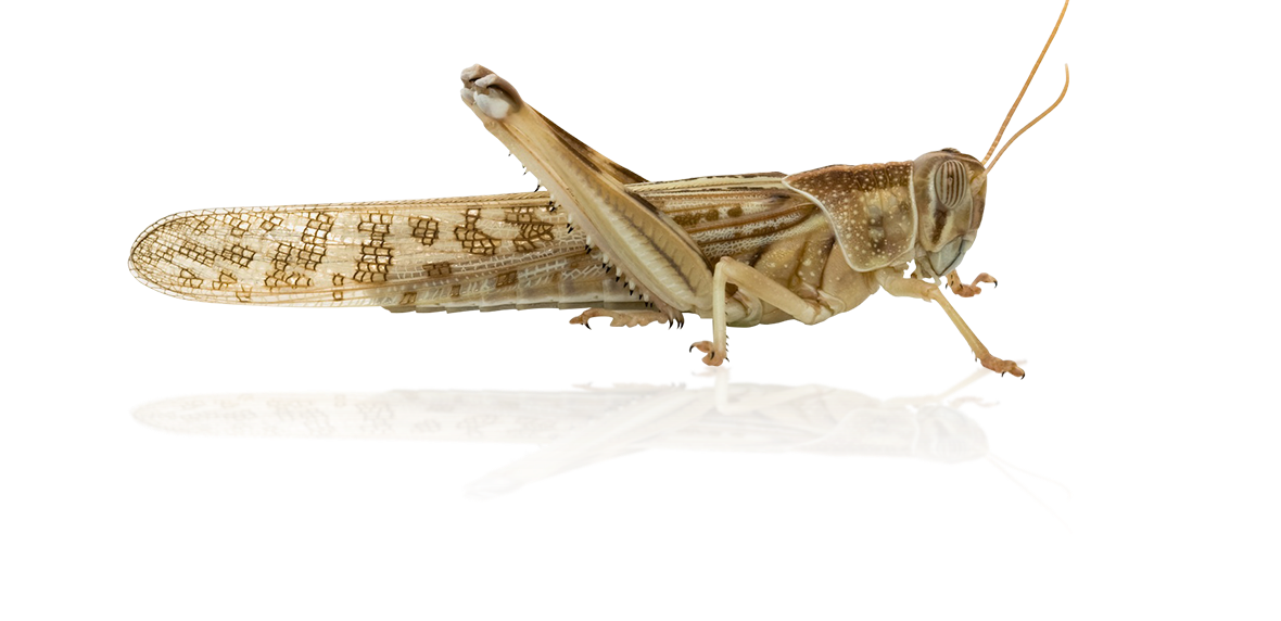 Detailed image of a desert locust