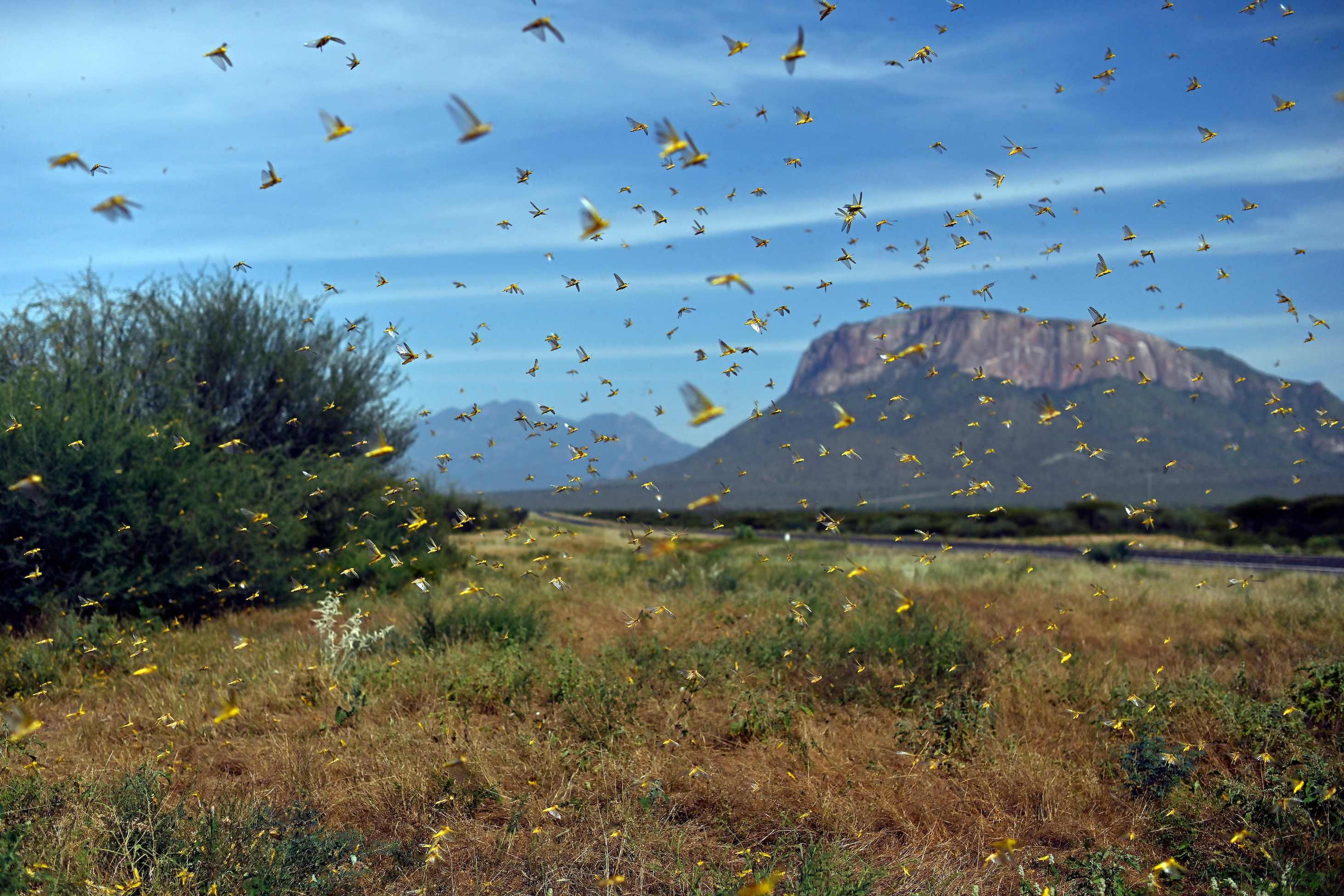 Image of locusts swarming in the Samburu area of Kenya