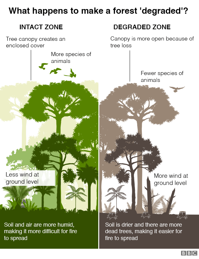 """Graphic: What makes a forest be classed as """"degraded""""? Intact zone with tree canopy creating enclosed cover, more species of animals, less wind at ground level, and more humid soil and air making it more difficult for fire to spread. Degraded zone where canopy is more open because of tree loss, fewer species of animals, more wind at ground level, and the soil is drier, there are more dead trees making it easier for fire to spread"""