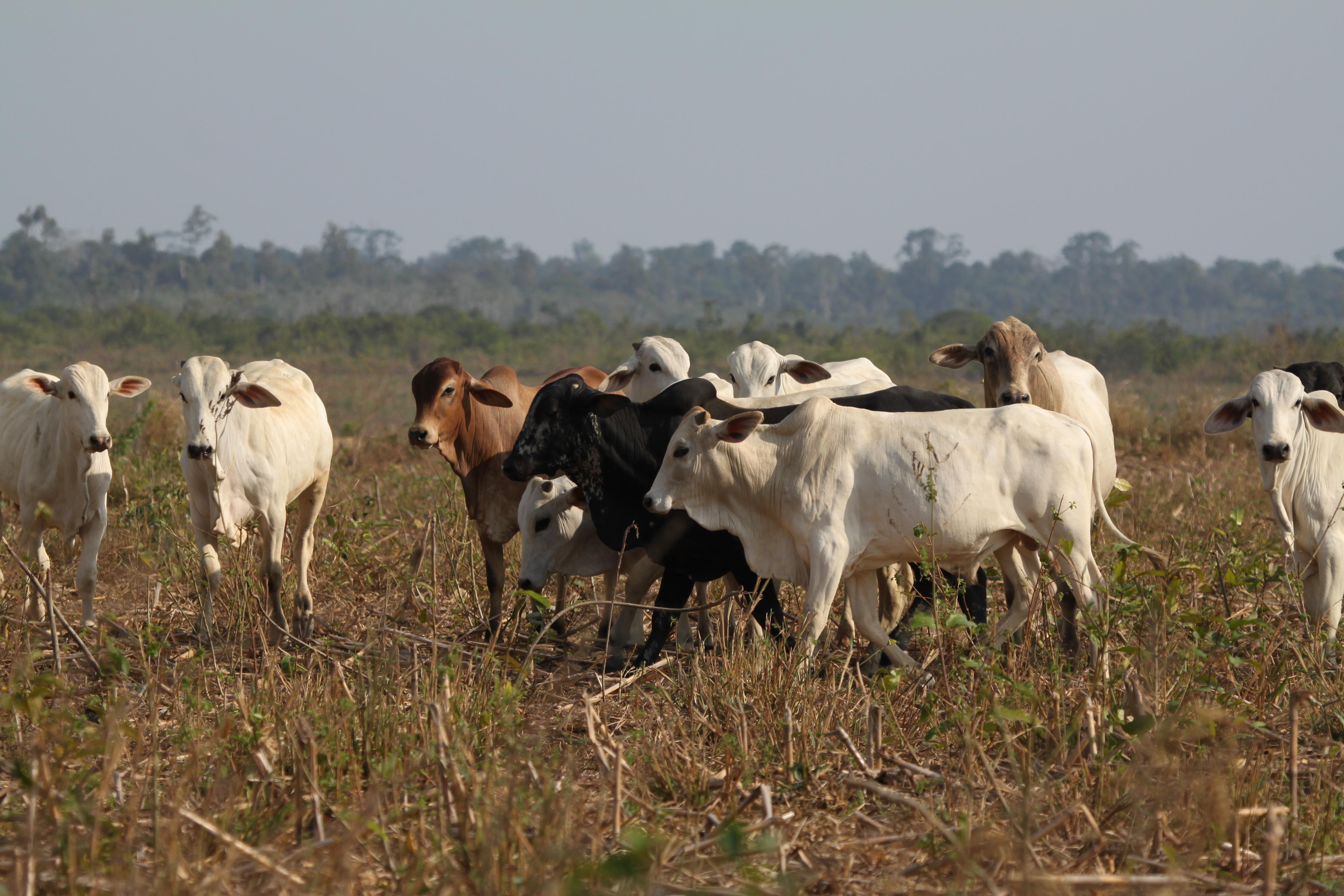 Cattle in the Brazilian Amazon region