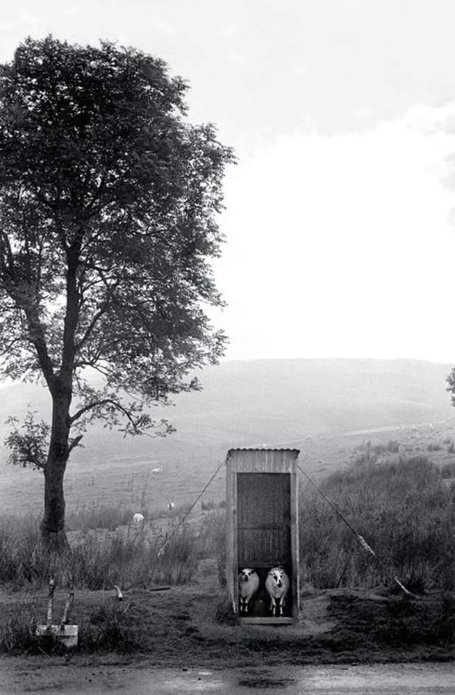 Sheep sheltering from the rain on the military artillery range,  Mynydd Epynt,1973