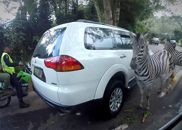 Zebra-spotting in Taman Safari Park