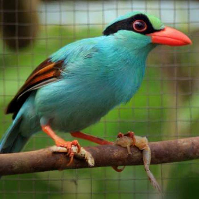 "Javan green magpie ""Jimat""without green pigment"