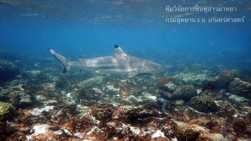 Tubarões-de-pontas-negras-de-recife podem ser observados agora em Maya Bay
