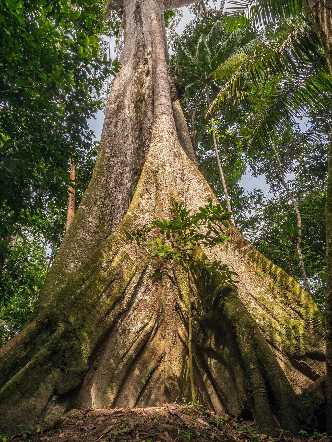 Árbol en el Amazonas peruano