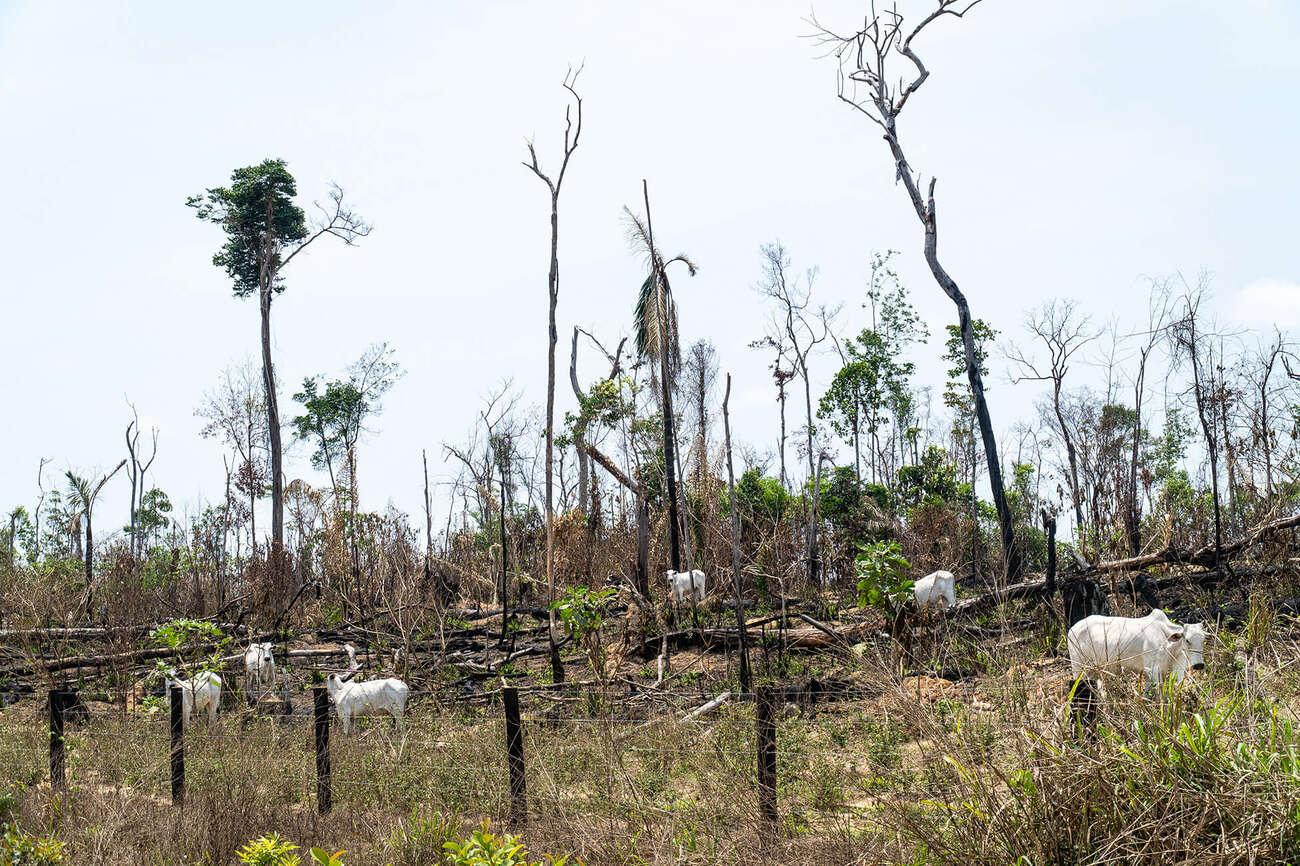 Gado em trecho de floresta desmatada na Amazônia brasileira
