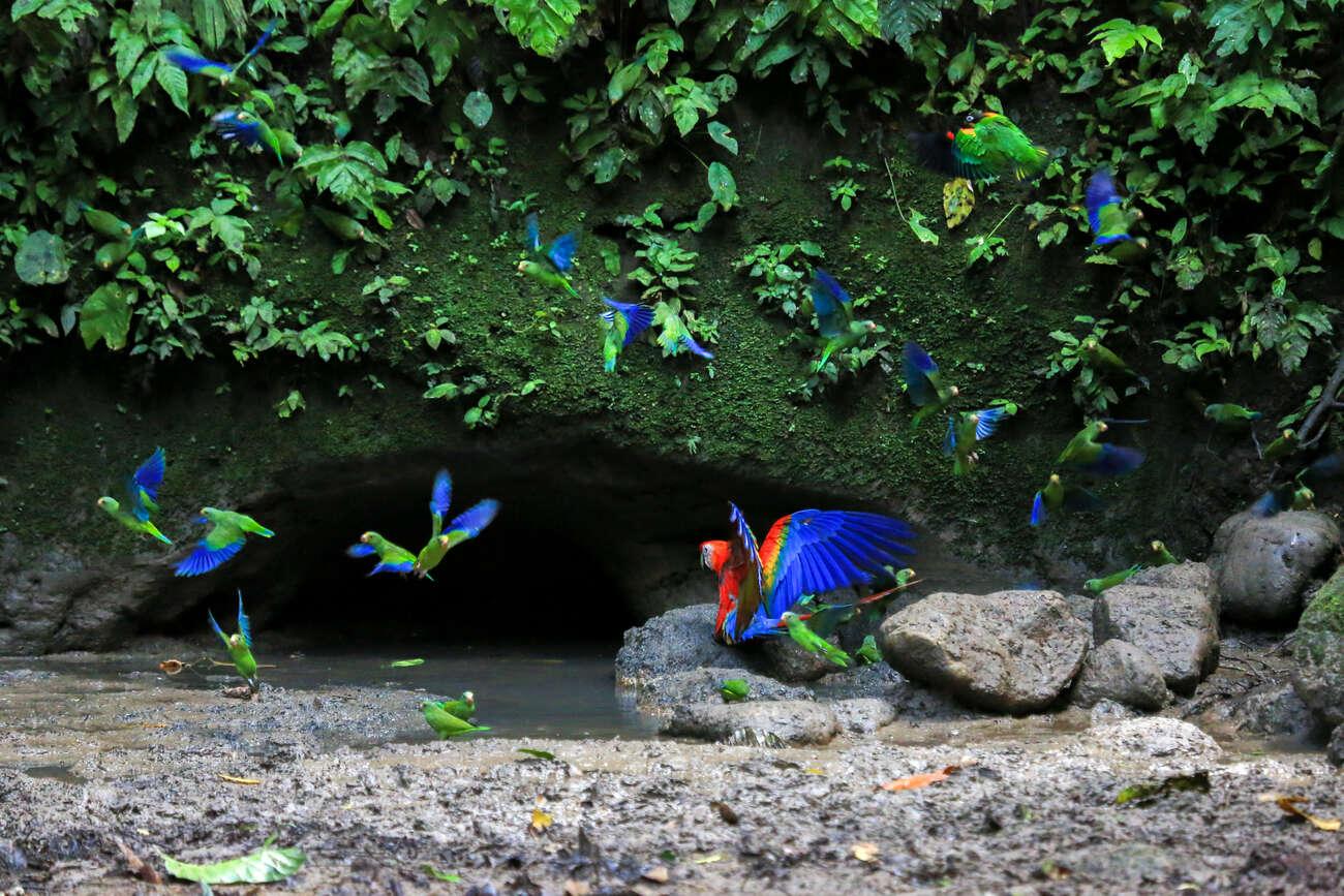 Araras e papagaios na Floresta Amazônica no Equador