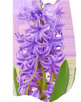 """""""Sombol"""" Hyacinth"""