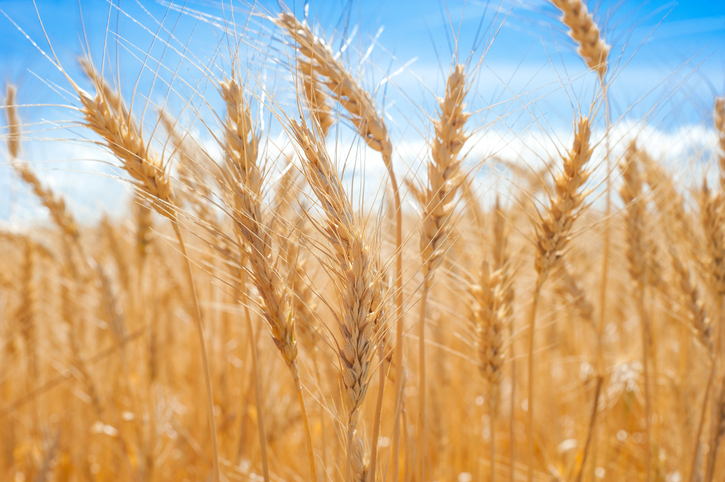 wheat gene map to help feed the world bbc news