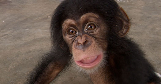 The secret trade in baby chimps - BBC News