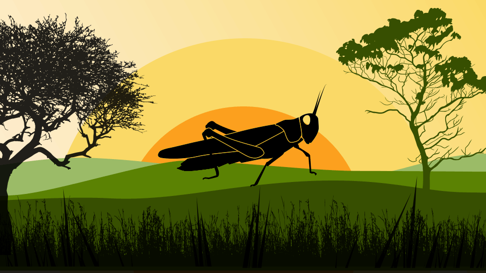 How a single locust becomes a plague - BBC News